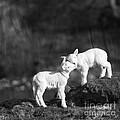 Sweet Little Lambs by Angel Ciesniarska