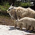 Sweet Mama Goat by Kathleen Bishop