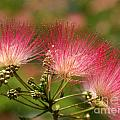 Sweet Mimosa by Kim Yarbrough