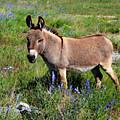 Sweet Miniature Donkey by Lynn Bauer