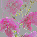 Sweet Pea Flowers Converted To Coloured Pencil Drawing by Rosemary Calvert