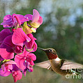 Sweet Pea Hummingbird by Debbie Portwood