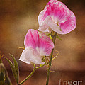 Sweet Peas by Jim And Emily Bush