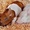 Sweet Piglets Nap Art Prints