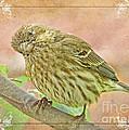 Sweet Pose Female Housefinch by Debbie Portwood