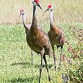 Sweet Sandhill Crane Family by Carol Groenen