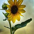 Sweet Summer Sunflower by Saija  Lehtonen