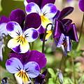 Sweet Viola by Carol Groenen
