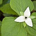 Sweet White Trillium by Shari Jardina