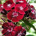 Sweet William Named Sooty by J McCombie