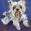 Sweet Yorkie by Julie Maas