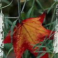 Sweetgum Leaf by Bonnie Bruno
