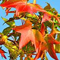 Sweetgum Leaves In Autumn by Regina Geoghan