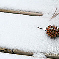 Sweetgum Seed Pod In The Snow by Karin Everhart