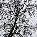 Sweetgum Silhouette On A Rainy Day by Maria Urso
