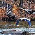 Sweetwater Heron In Flight by Tara Potts