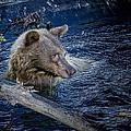 Black Bear On Blue by Jim Thompson