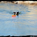 Swimmer In The Truckee River by Bobbee Rickard
