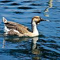 Swimming African Brown Goose by Denise Mazzocco