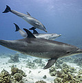 swimming Bottlenose dolphins by Dray Van Beeck