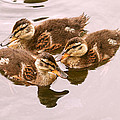 Swimming Ducklings by Peggy Collins