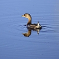 Swimming Grebe by Bonfire Photography