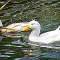Swimming In The Pond by Image Takers Photography LLC - Laura Morgan