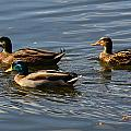 Swimming Mallards by Denise Mazzocco