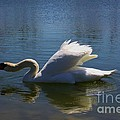 Swimming Swan by Robert D  Brozek