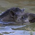 Swimming Tapir by Clare Bambers