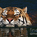 Swimming Tiger by Nick  Biemans