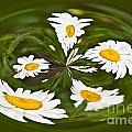 Swirl Of Daisies by Terri Morris