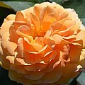 Swirling Peach Rose by Maria Urso