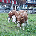 Swiss Cows by Nina Kindred