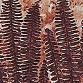 Sword Fern Fossil by Katherine Young-Beck