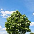 Sycamore  Acer Pseudoplatanus by Liz Leyden