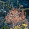 Sycamore And Saguaro Cacti, Arizona by John Shaw