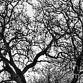 Sycamore And Sky by Stuart Gordon