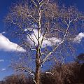 Sycamore On The Hill by Skip Willits