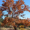 Sycamore Tree In Fall Colors by Tom Janca