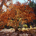 Sycamore Trees Fall Colors by Tom Janca
