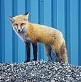 Sydney Fox by Jason Lees