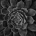 Symmetrical Succulent by Robert Woodward