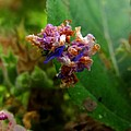 Synchlora Aerata Caterpillar 2 by Joshua Bales
