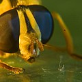 Syrphid Eyes And Antennae by Douglas Barnett