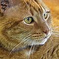 Tabby Cat Portrait by Sandi OReilly
