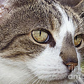 Tabby Cat by Julie Woodhouse