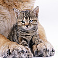 Tabby Kitten Between Large Dogs Paws by John Daniels
