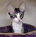 Tabby Kitten In A Purple Bed by Catherine Sherman