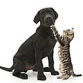 Tabby Male Kitten & Black Labrador by Mark Taylor